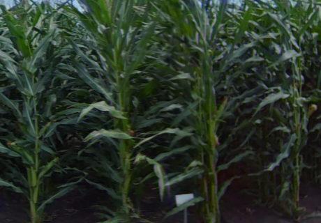 nutrien-pv_61177srr_corn