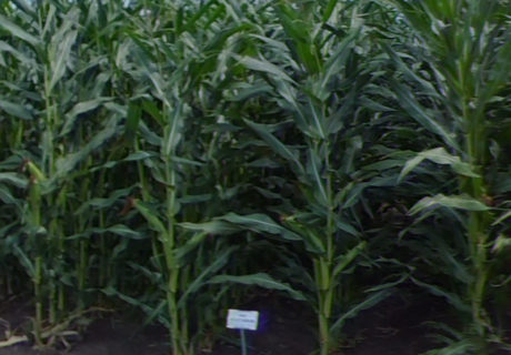 nutrien-pv_61276rib_corn