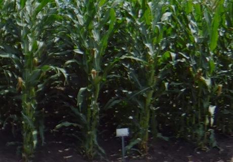 nutrien-pv_62384rib_corn