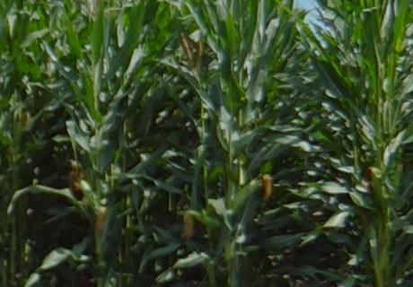 nutrien-pv_62485rib_corn
